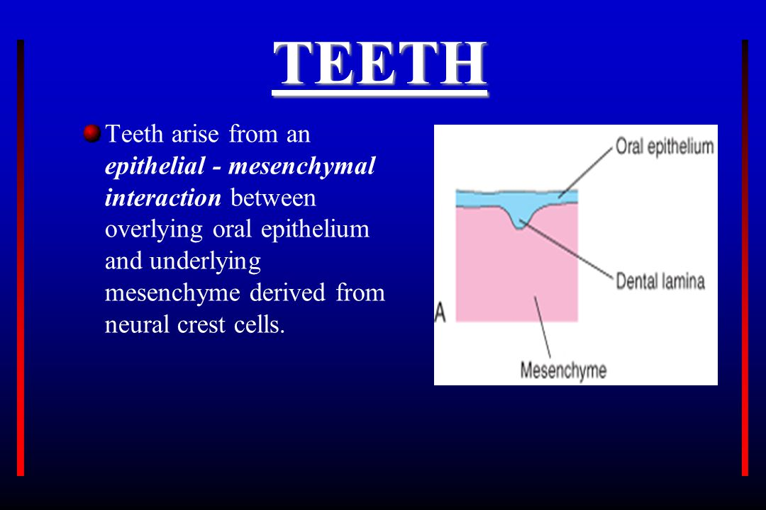TEETH Teeth arise from an epithelial - mesenchymal interaction between overlying oral epithelium and underlying mesenchyme derived from neural crest c