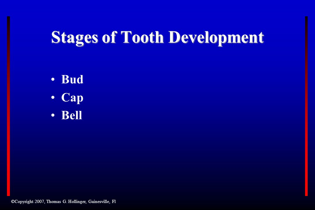 Stages of Tooth Development Bud Cap Bell ©Copyright 2007, Thomas G. Hollinger, Gainesville, Fl