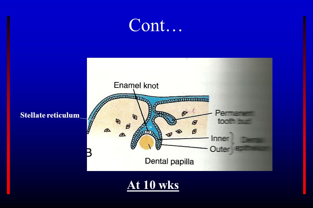 Cont… At 10 wks Stellate reticulum