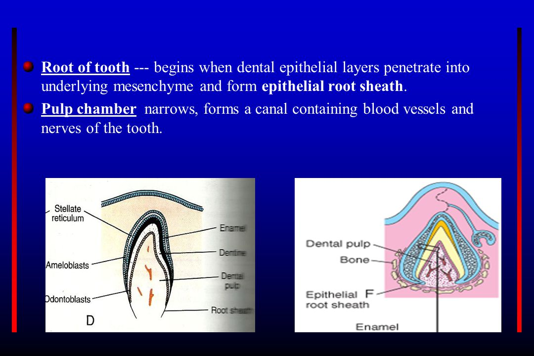 Root of tooth --- begins when dental epithelial layers penetrate into underlying mesenchyme and form epithelial root sheath. Pulp chamber narrows, for