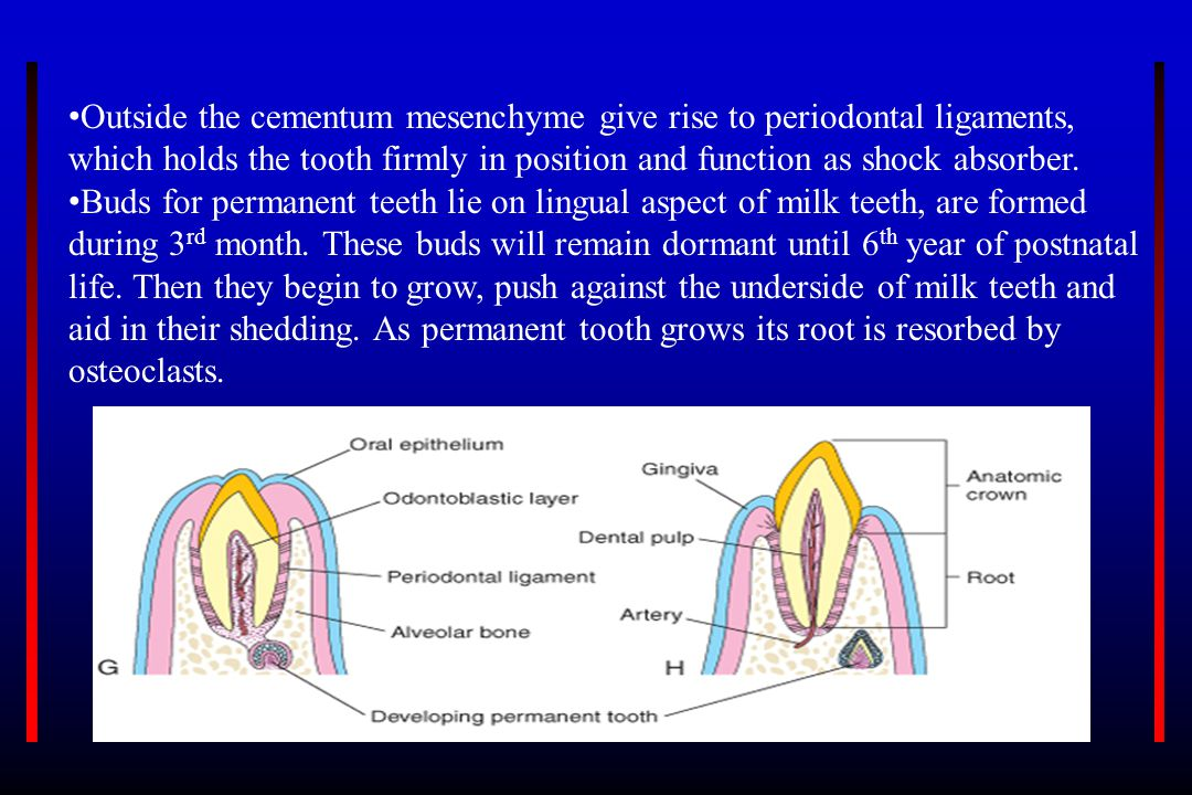 Outside the cementum mesenchyme give rise to periodontal ligaments, which holds the tooth firmly in position and function as shock absorber. Buds for