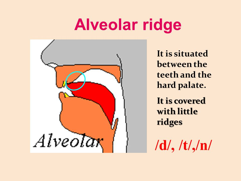 Alveolar ridge It is situated between the teeth and the hard palate. It is covered with little ridges /d/, /t/,/n/
