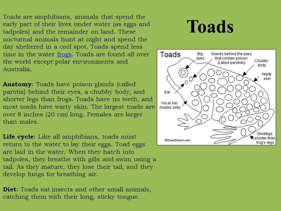 Toads Toads are amphibians, animals that spend the early part of their lives under water (as eggs and tadpoles) and the remainder on land. These noctu