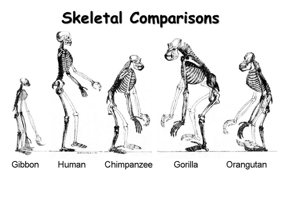 Skeletal Comparisons