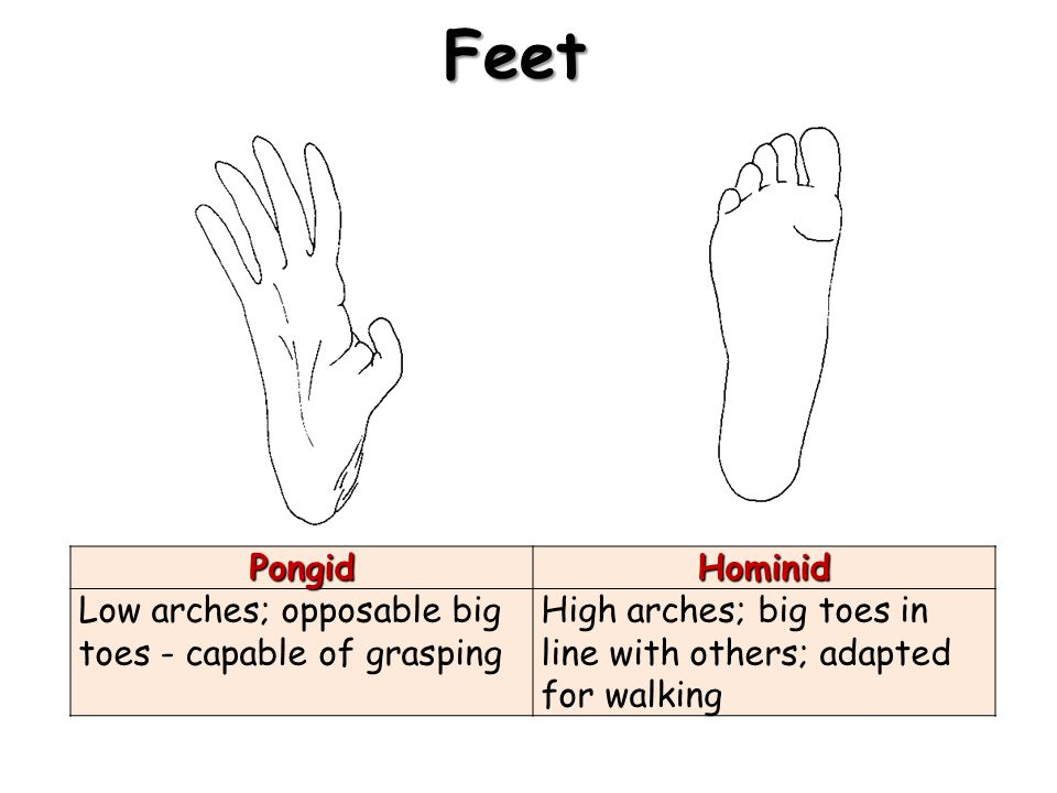 FeetPongidHominid Low arches; opposable big toes capable of grasping High arches; big toes in line with others; adapted for walking