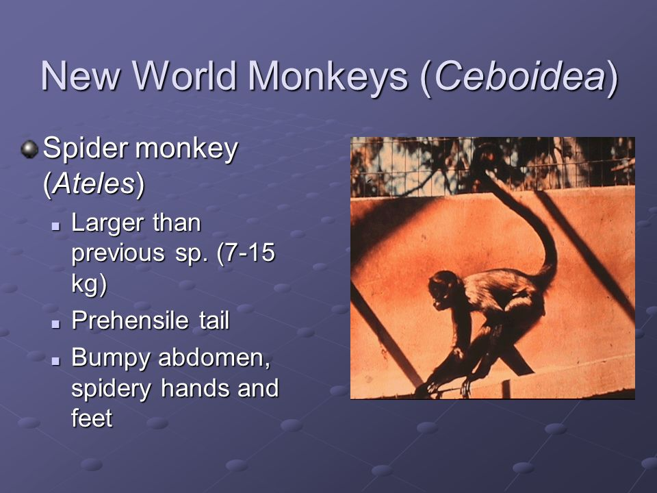Old World Monkeys Cercopithecoidea Narrow nose 32 teeth Often cheek pouches If there´s a tail, it´s never prehensile