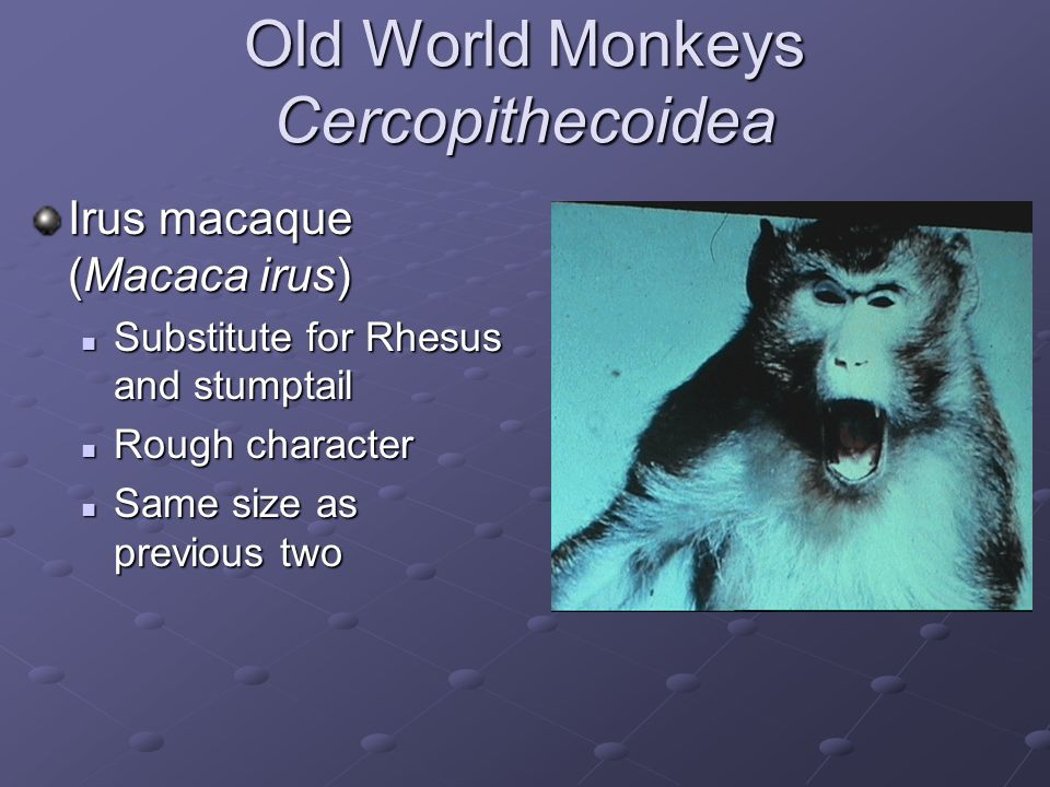 Old World Monkeys Cercopithecoidea African green (Cercopithecus ethiops) Smaller than macaques Smaller than macaques Kidney donor Kidney donor Marburg disease Marburg disease