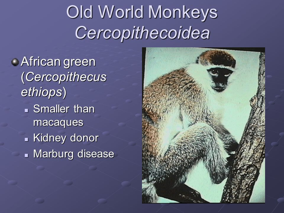Old World Monkeys Cercopithecoidea Baboons (Papio sp.) Rarely used in research Rarely used in research Remember Christian Barnard .