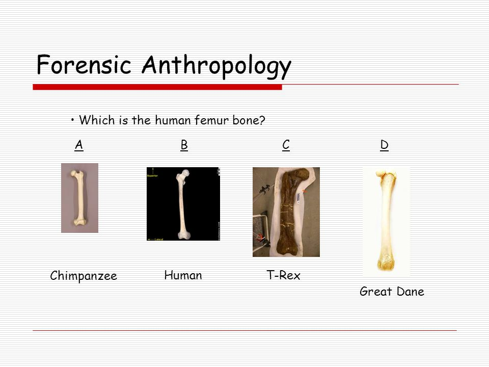 Forensic Anthropology Which is the human femur bone ACBD Chimpanzee HumanT-Rex Great Dane