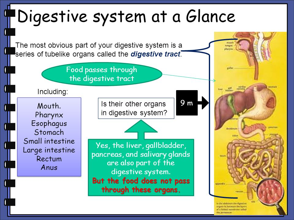 Digestive system at a Glance The most obvious part of your digestive system is a series of tubelike organs called the digestive tract. Food passes thr