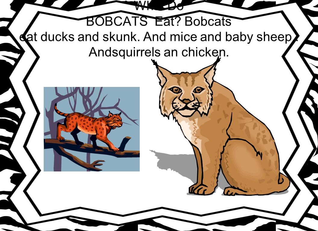 Where Do BOBCATS Live? Bobcats live in grass, and tress, and rocky places.