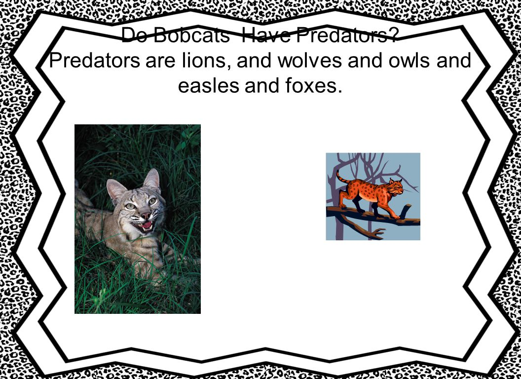 Do Bobcats Have Predators? Predators are lions, and wolves and owls and easles and foxes.