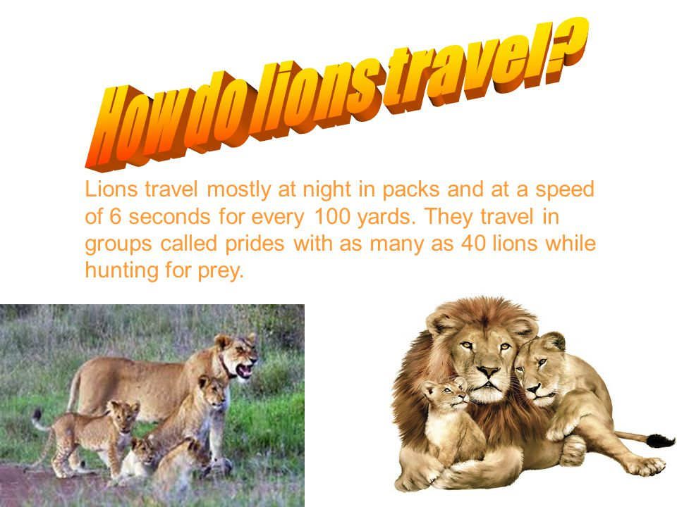 Lions travel mostly at night in packs and at a speed of 6 seconds for every 100 yards.