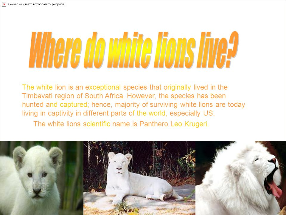The white lion is an exceptional species that originally lived in the Timbavati region of South Africa.