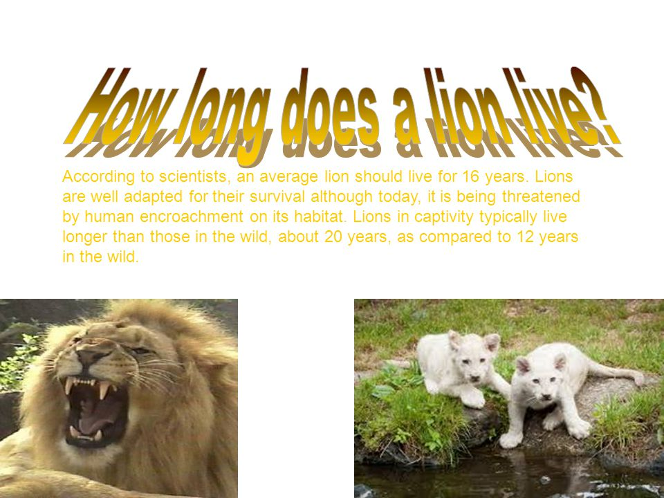 Adult lions have not more than 30, extremely strong teeth.