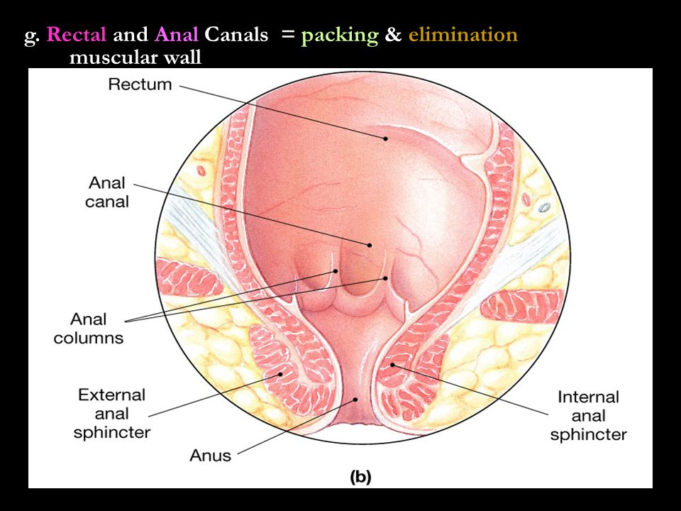 g. Rectal and Anal Canals = packing & elimination muscular wall