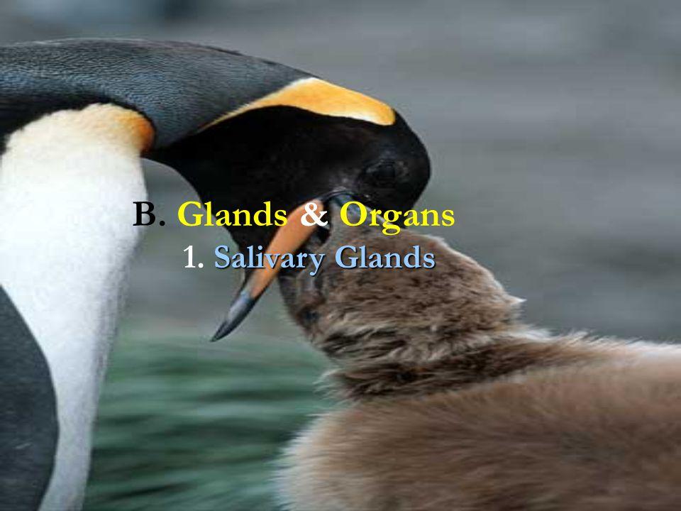 B. Glands & Organs Salivary Glands 1. Salivary Glands