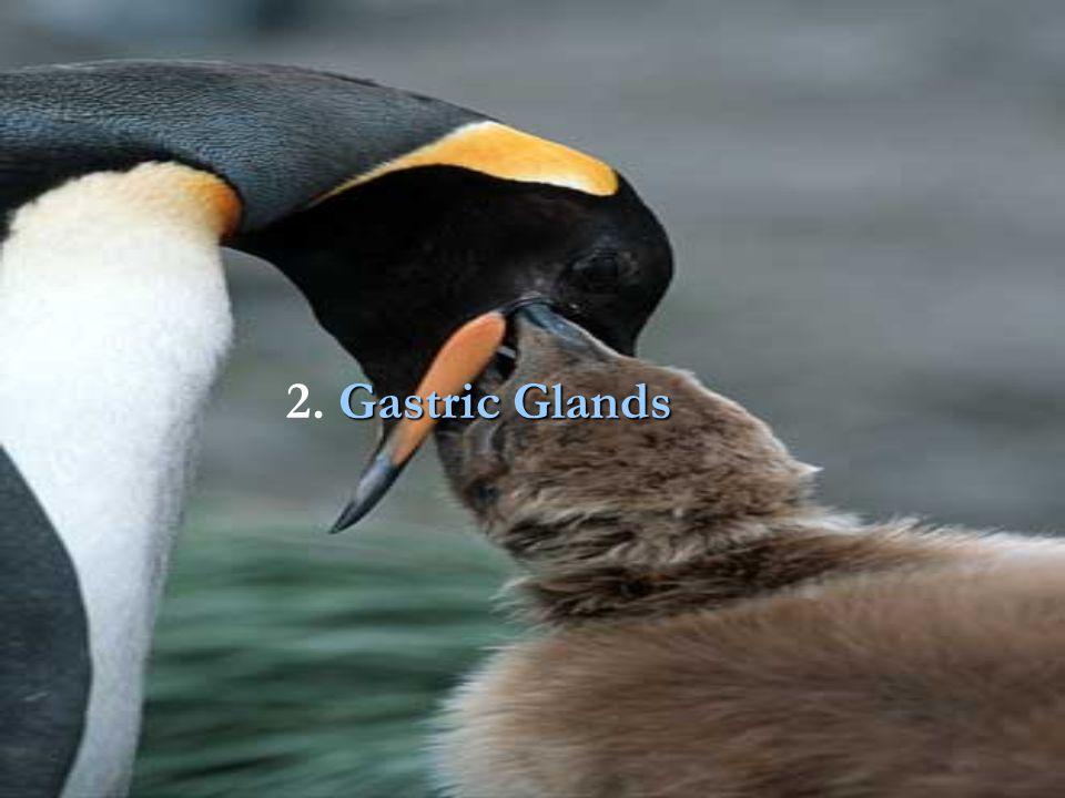 Gastric Glands 2. Gastric Glands