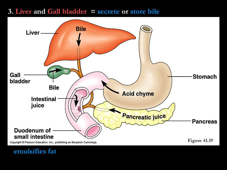 3. Liver and Gall bladder = secrete or store bile emulsifies fat Figure 41.19