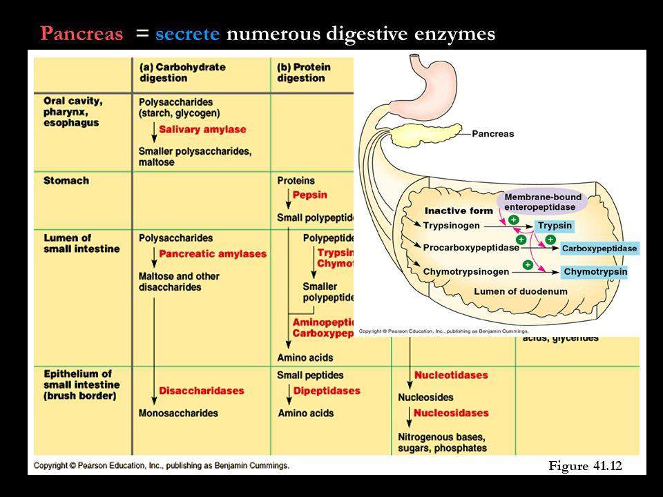 Pancreas = secrete numerous digestive enzymes Figure 41.12