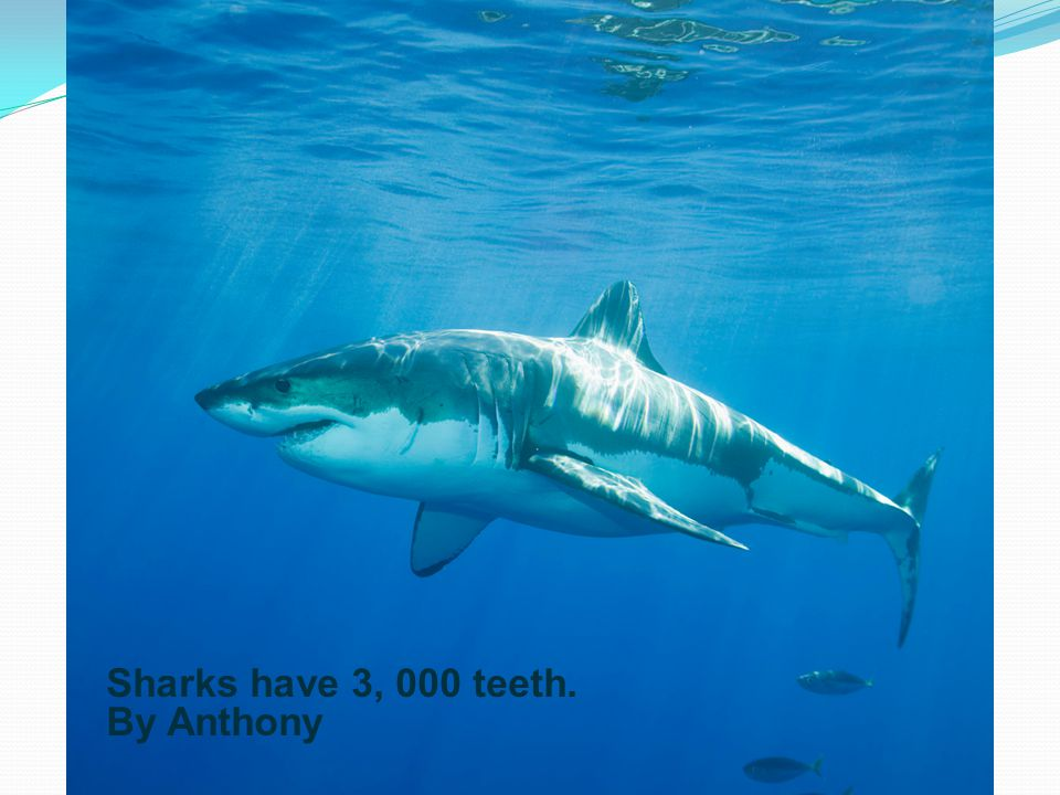 Sharks have no bones. They have cartilage and some have bodies as big as a frig. They always swim forward. They never back up. They eat plankton and s