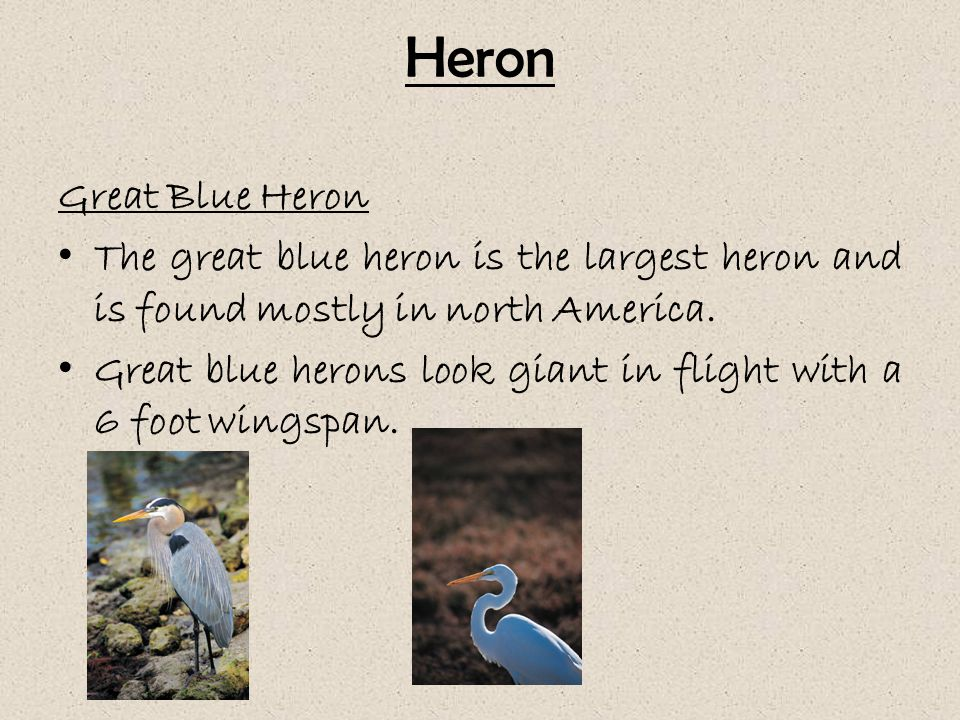 Heron Great Blue Heron The great blue heron is the largest heron and is found mostly in north America.