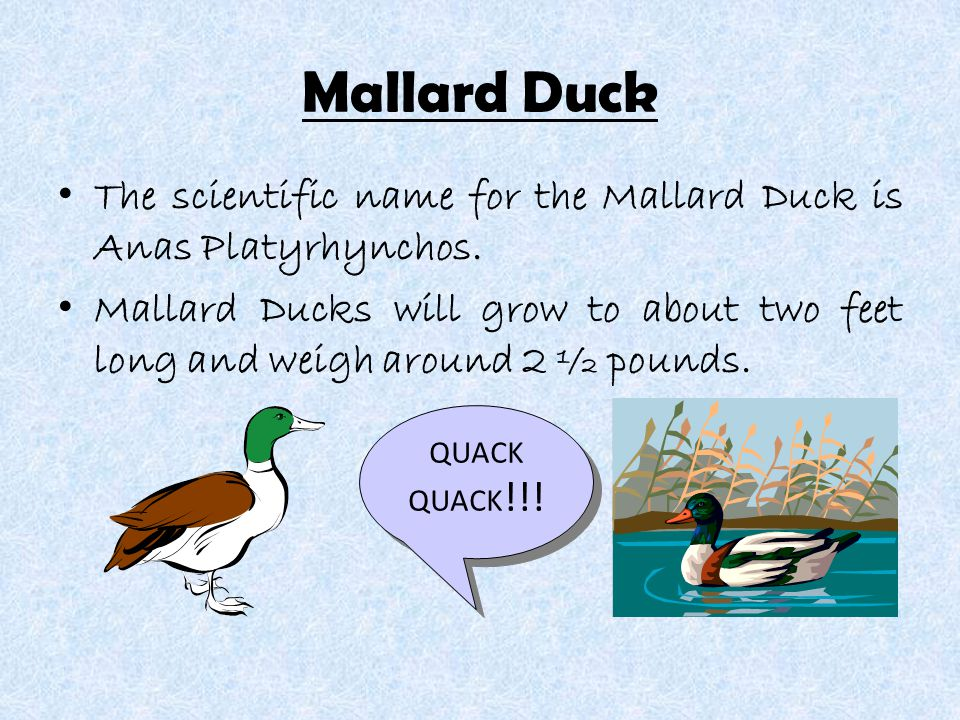 Mallard Duck The scientific name for the Mallard Duck is Anas Platyrhynchos.