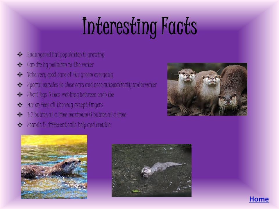 Interesting Facts Endangered but population is growing Can die by pollution in the water Take very good care of fur groom everyday Special muscles to close ears and nose automatically underwater Short legs 5 toes webbing between each toe Fur on feet all the way except fingers 1-2 babies at a time maximum 6 babies at a time Sounds 12 different calls help and trouble