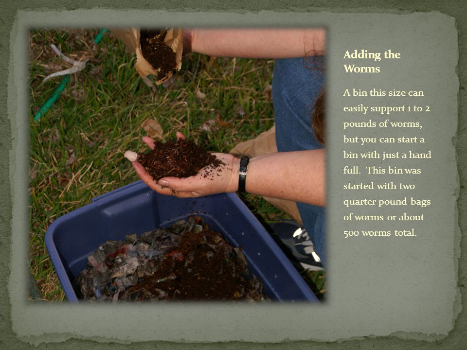 A bin this size can easily support 1 to 2 pounds of worms, but you can start a bin with just a hand full. This bin was started with two quarter pound