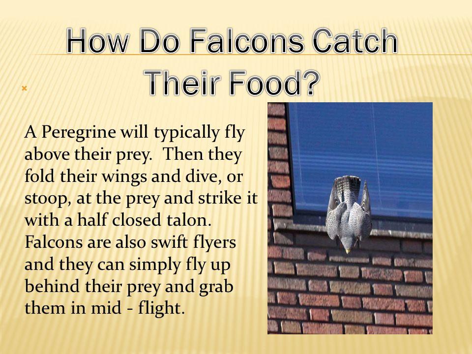 Falcons are birds of prey ~ they eat live food. They mostly eat birds, but will eat rabbit, rat, and other rodents.