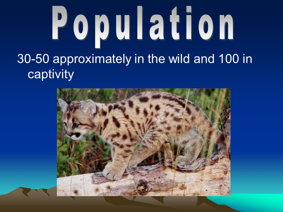 The Florida Panther lives up to 8-15 years in the wild, 10-26 years in captivity.