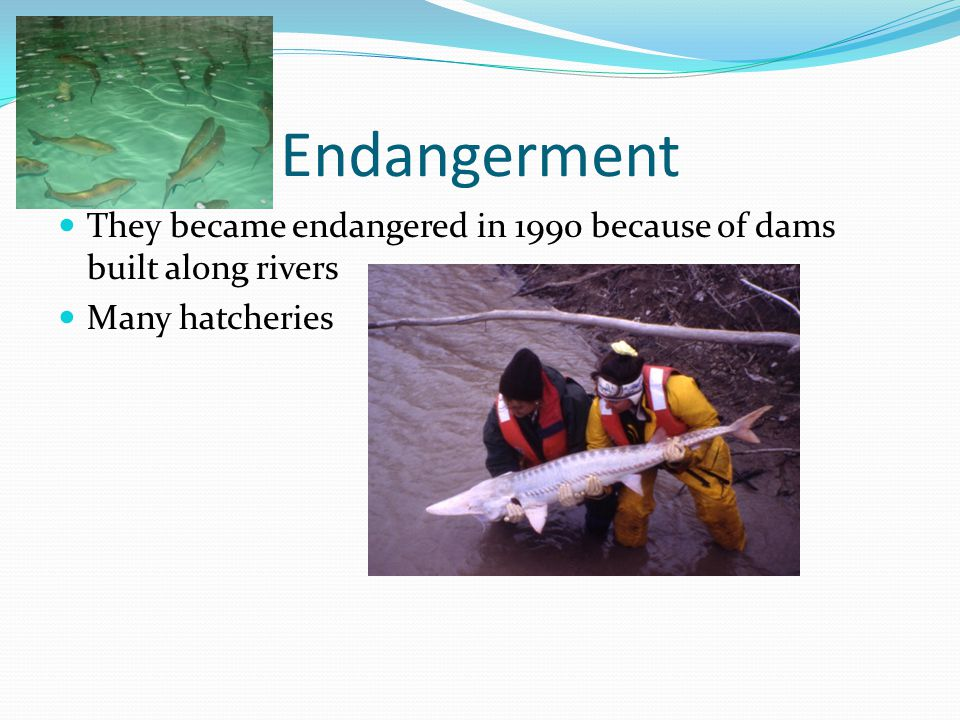 Endangerment They became endangered in 1990 because of dams built along rivers Many hatcheries