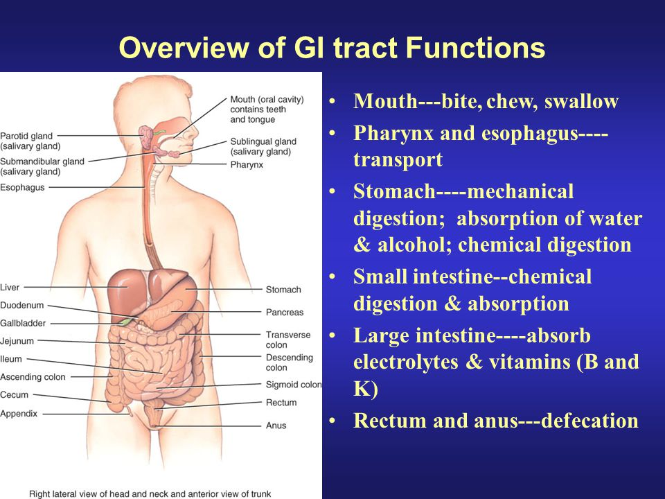 GI tract functions: Small Intestine Small Intestine: Segmentation mixes chyme with digestive juices (from small intestine, pancreas, and liver) and brings chyme into contact with the mucosa for absorption, peristalsis propels chyme toward the large intestine.