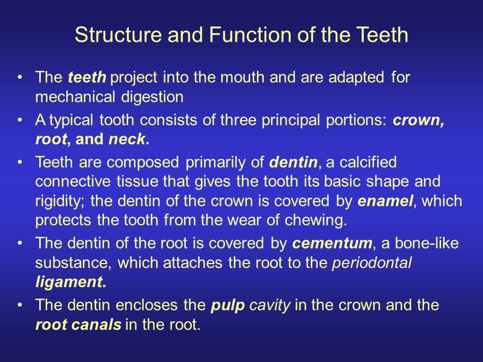 Structure and Function of the Teeth The teeth project into the mouth and are adapted for mechanical digestion A typical tooth consists of three princi