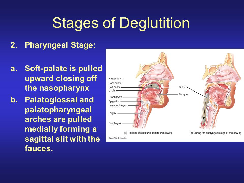 Stages of Deglutition 2.Pharyngeal Stage: a.Soft-palate is pulled upward closing off the nasopharynx b.Palatoglossal and palatopharyngeal arches are p
