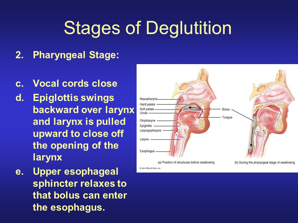 Stages of Deglutition 2.Pharyngeal Stage: c.Vocal cords close d.Epiglottis swings backward over larynx and larynx is pulled upward to close off the op