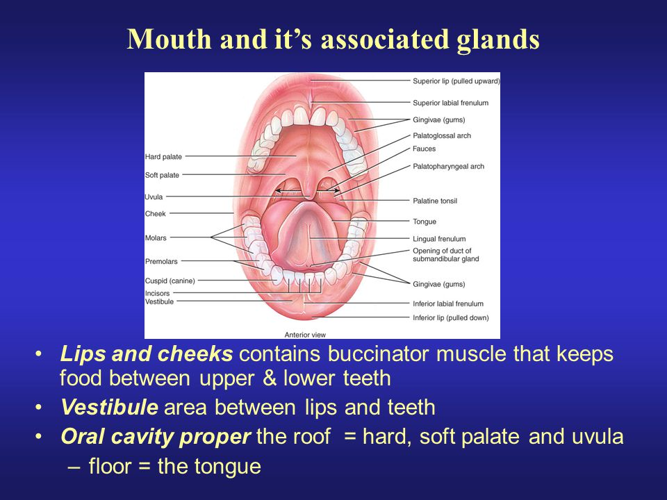Lips and cheeks contains buccinator muscle that keeps food between upper & lower teeth Vestibule area between lips and teeth Oral cavity proper the ro