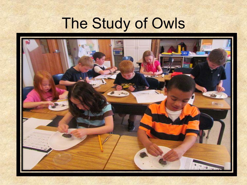 An Owls Food Chain