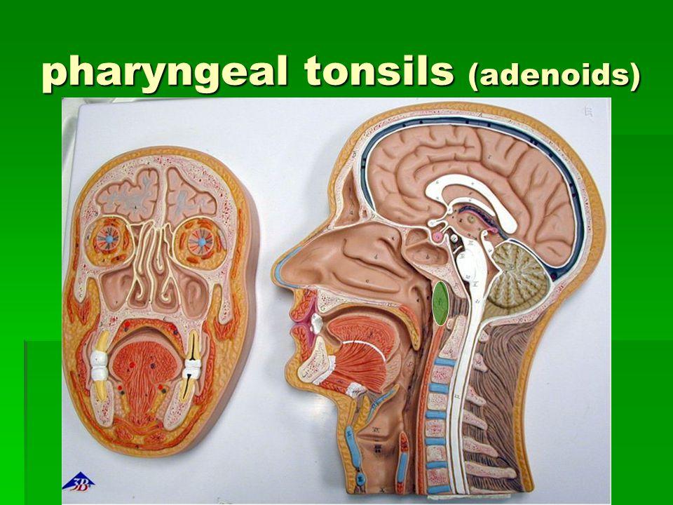 pharyngeal tonsils (adenoids)