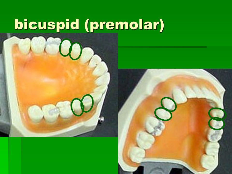 bicuspid (premolar)