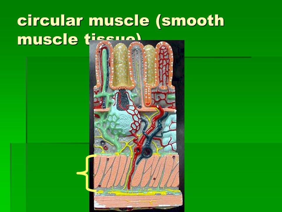 circular muscle (smooth muscle tissue)