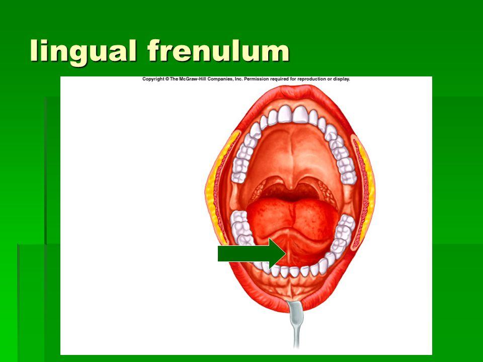 lingual frenulum