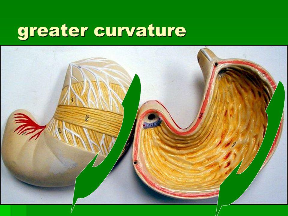 greater curvature