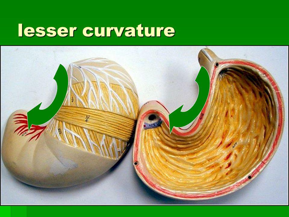 lesser curvature