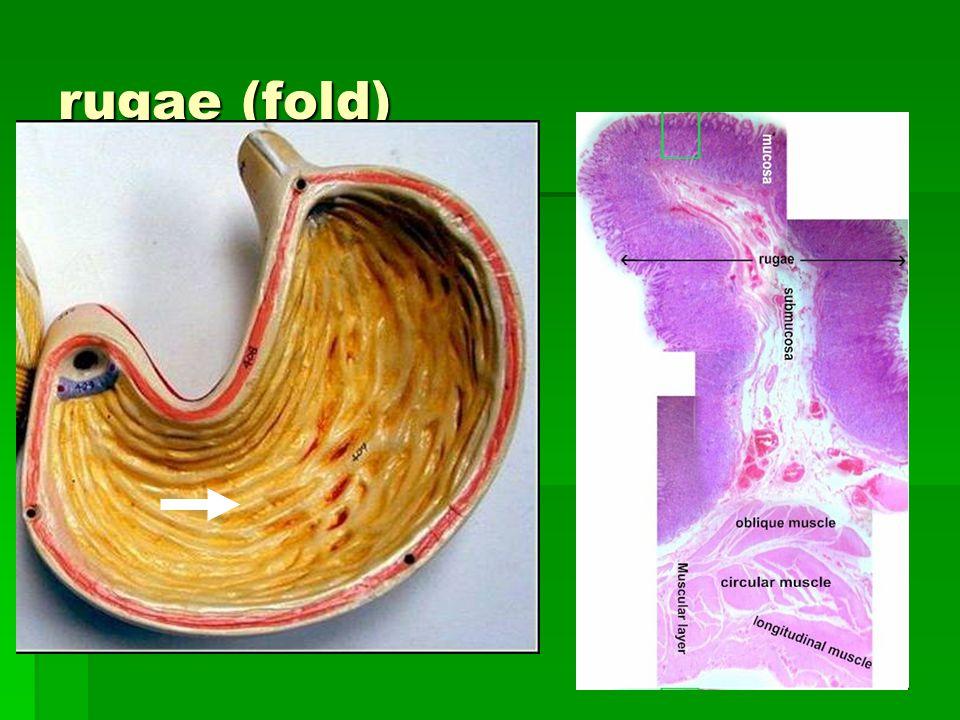 rugae (fold)