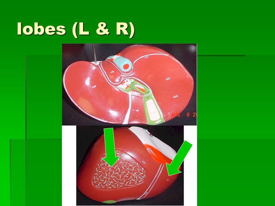 lobes (L & R)