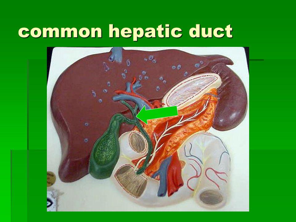 common hepatic duct