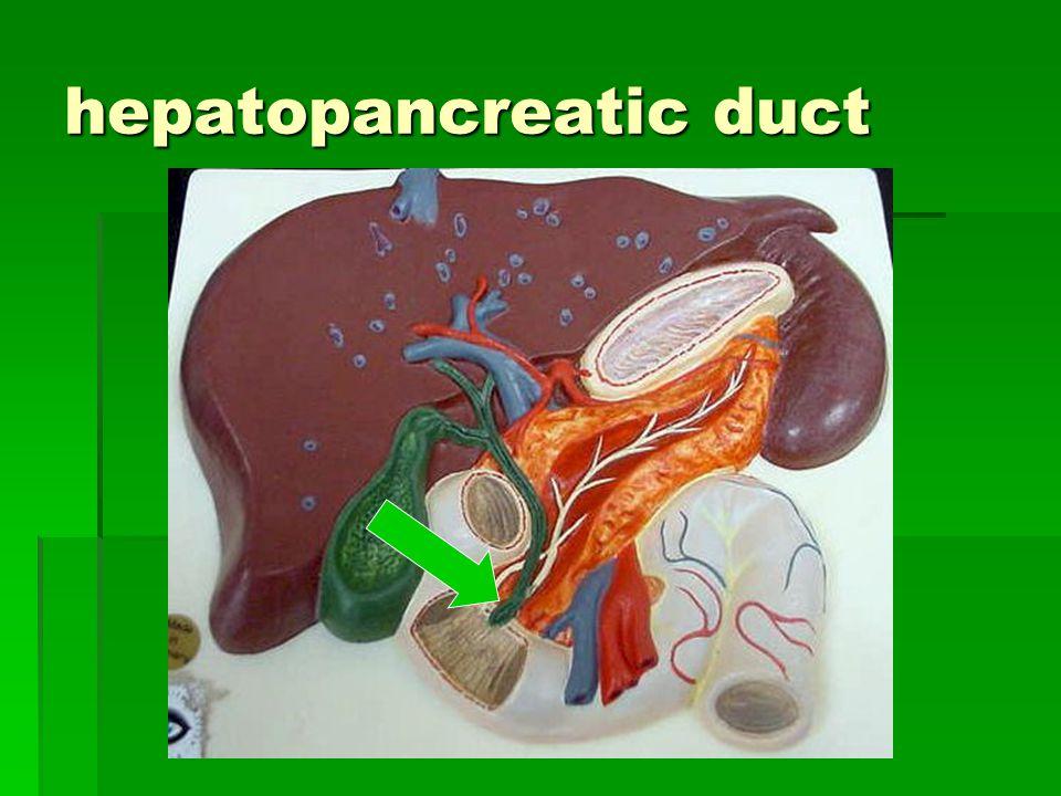 hepatopancreatic duct