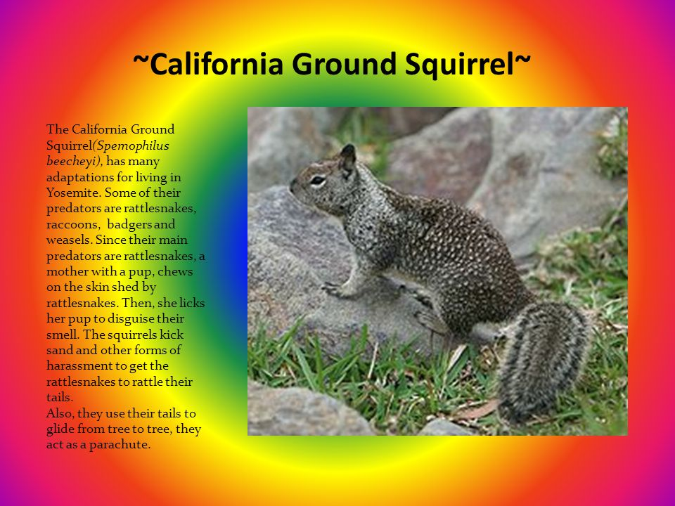~California Ground Squirrel~ The California Ground Squirrel(Spemophilus beecheyi), has many adaptations for living in Yosemite.