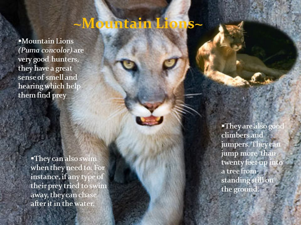 ~Mountain Lions~ Mountain Lions (Puma concolor) are very good hunters, they have a great sense of smell and hearing which help them find prey.